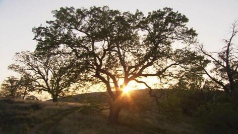 BILL VIOLA Old Oak (Study), 2005