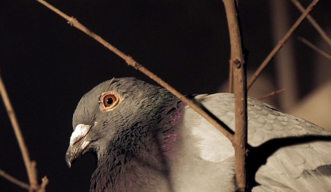 CHENG RAN Rock Dove, 2009