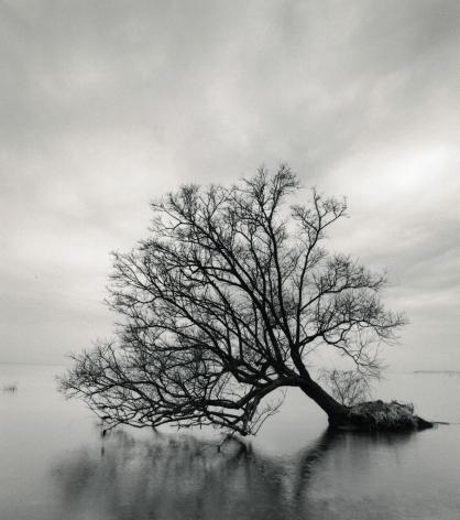 Falling Tree, Nagahama, Honshu, Japan, 2002
