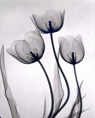 Tulips 1931 vintage gelatin silver print
