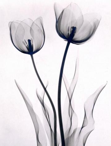 Tulips 1930 vintage gelatin silver print