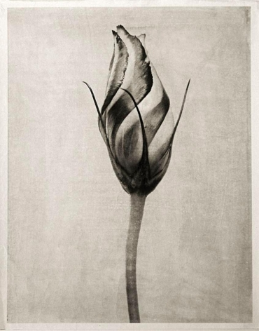 Charles Grogg Lisianthus Bud, from the series Reconstructions