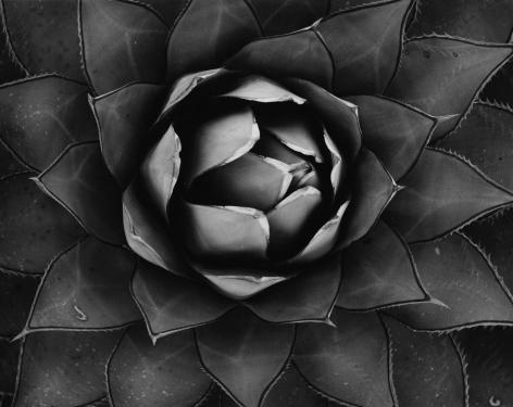 Cactus, 1967 vintage gelatin silver print