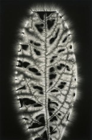 Walter Chappell, Avocado Leaf, from the Metaflora portfolio