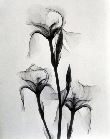 Fleur-de-lis 1936 vintage gelatin silver print