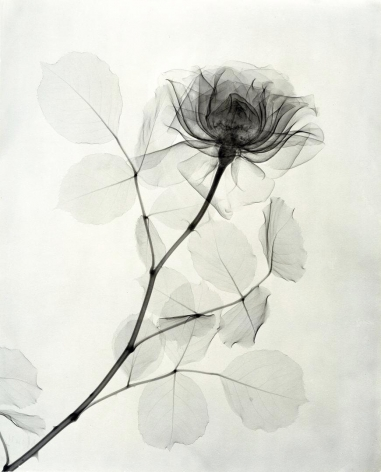 A Rose 1936
