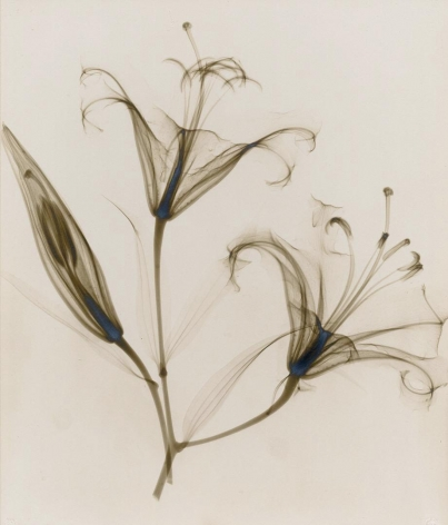 untitled, (lily) 1932