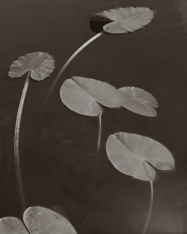 Floating Leaves, Boundary Water, MN, 1999