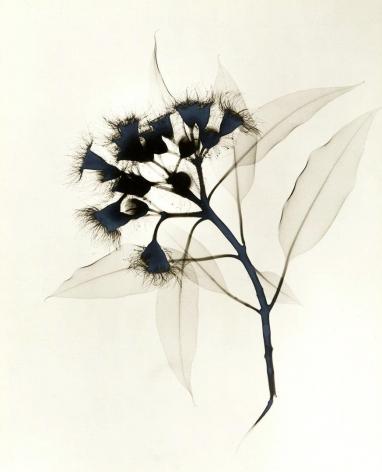 Eucalyptus X-ray ca. 1930