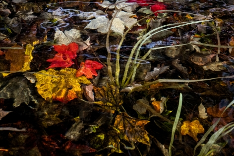 Sage Sohier, Nymphaea 1 (submerged autumn leaves near clump of pond grass), 2018