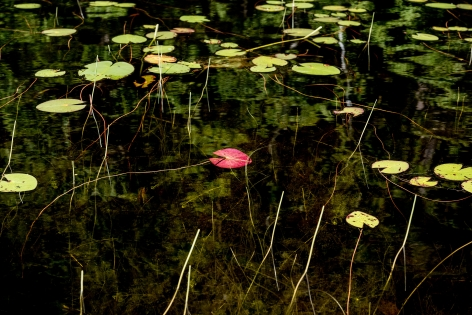 Sage Sohier, Nymphaea 3 (red lily pad underside in the midst of green), 2018
