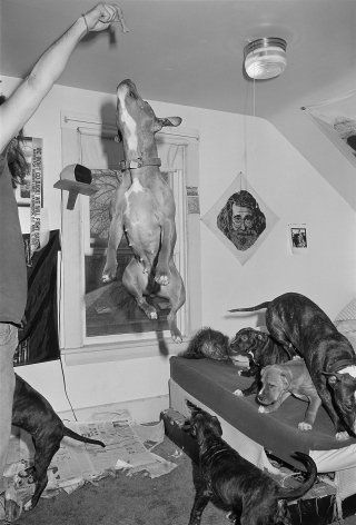 Couple playing with Pit Bulls in bedroom, Brighton, Massachusetts - 1992