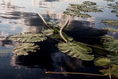 Sage Sohier, Nymphaea 4 (large serrated lily pads at sunrise), 2018