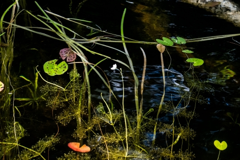 Sage Sohier, Nymphaea 11 (small white flower in center of grasses and a few lily pads/ submerged birch), 2018