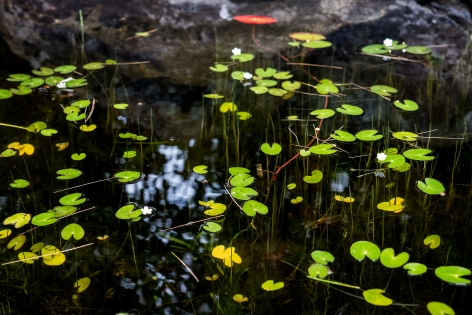 Sage Sohier, Nymphaea 15 (rock, bright spot of light, small green lily pads), 2018