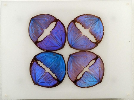 Maria Fernanda Cardoso, Butterfly Drawing Blue, 2003. Archival butterfly wings, acrylic, silicone & metal, 12 x 16 x 3 in.