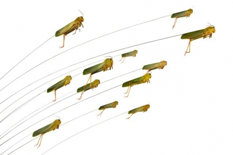 Maria Fernanda Cardoso, Jumping grasshoppers, Edition 2/3, 2010.  Archival pigment print on 300g watercolor paper, 15 3/4 x 23 5/8 in.