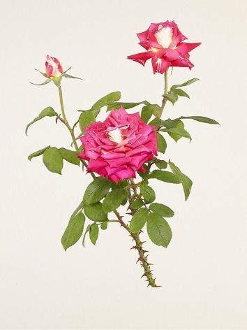 Kenji Toma, Rose (Cherry Parfait), 2018
