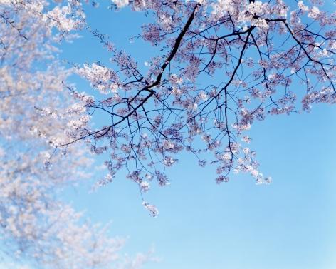 "Risaku Suzuki, From the Series ""Sakura"""