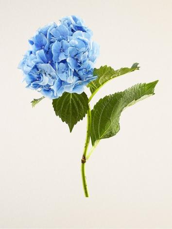 Kenji Toma, Hydrangea (Nikko Blue), 2015