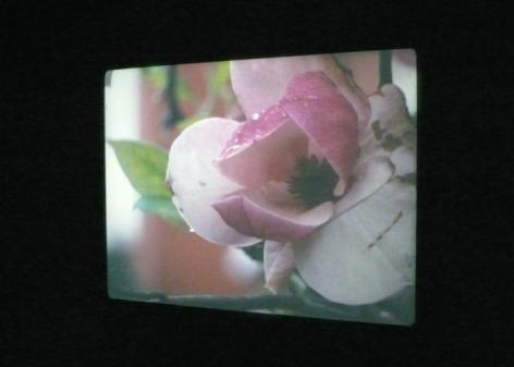 Our Magnolia 2009