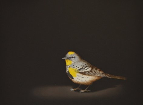 Isabelle du Toit, Yellow Rumped Warbler, 2020