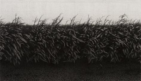 anthony mitri, Corn, Bundysburg, 2013, charcoal on paper, 9 1/4 x 16 inches