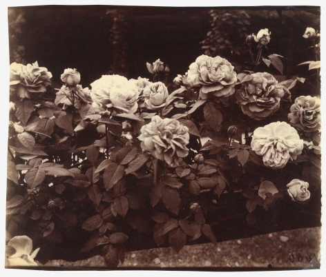 Eugene Atget  Rose Garden, Bagatelle, Paris, France, ca. 1921.