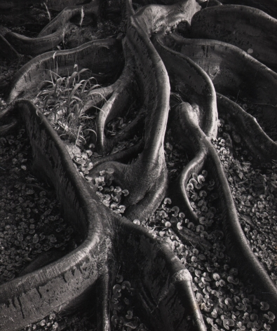 Ansel Adams, Roots, Foster Gardens, Honolulu, ​1948. Tree roots curve toward the camera with small vegetation between them.