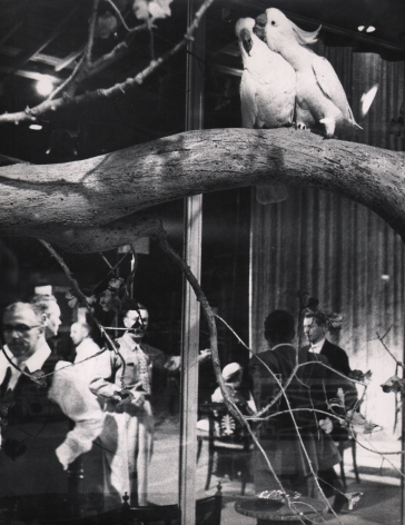 Sanford H. Roth, Movie Pet Lovemaking, ​c. 1958. Two white birds on a branch in the upper right of the frame. Various men fill the lower half of the frame.