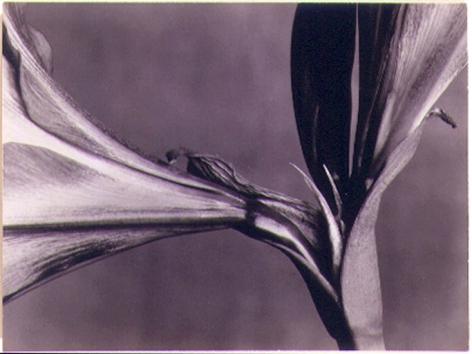 Amaryllis, 1931, vintage gelatin silverprint, 2 7/8 x 3 7/8 in.