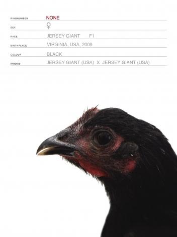 KOEN VANMECHELEN Mechelse Redcap x Jersey Giant (Cosmopolitan Chicken Project DC) (detail) 2009, 4 digital prints, 7.5 x 9.5 inches (each),