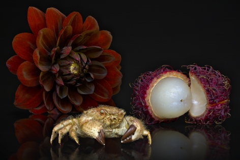 AGNIET SNOEP Still Life Series: Lychee Fruit 2013, c-print mounted on aluminum, 24 x 36 inches