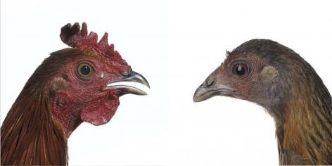 KOEN VANMECHELEN Red Jungle Fowl 2013, lambda print on plexiglas, diptych, 12 x 12 inches