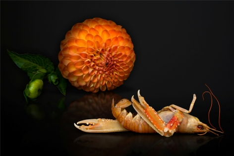 AGNIET SNOEP Still Life Series: Prawn 2013, c-print mounted on aluminum, 24 x 36 inches