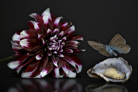 AGNIET SNOEP Still Life Series: Oyster 2013, c-print mounted on aluminum, 24 x 36 inches
