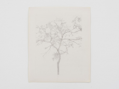 A pencil drawing of a Japanese Pagoda tree with a bar of music written near the top