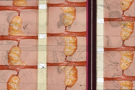 A single slide from Luther Price's video projection. There are three columns that each depict a yellow larvae, attached to a red fleshy area. There are also abstracted areas that show Luther has worked on the slide.