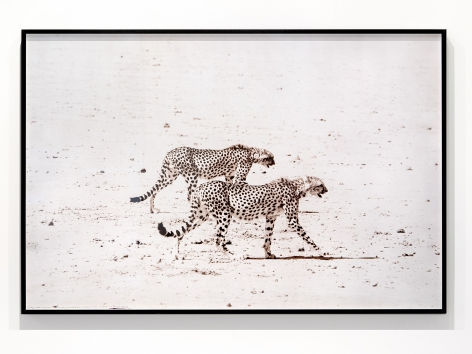 Peter Beard Hunting Cheetahs, 1960