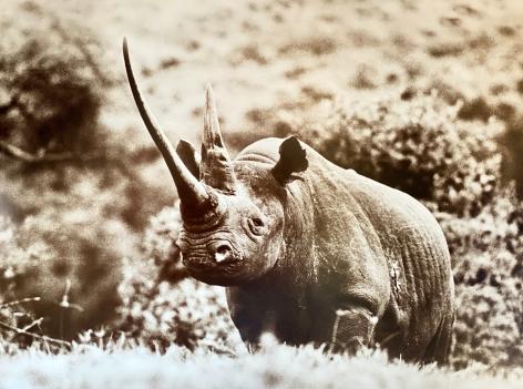 "Peter Beard 47"" Rhino, 1972"