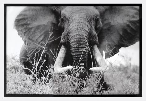 Peter Beard Bull Elephant