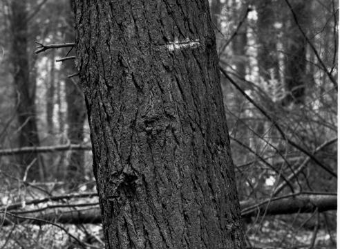 Twenty-Four Tree Studies for Henry David Thoreau, 2001-2003