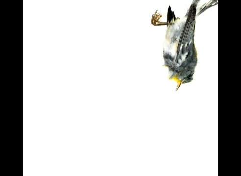 Icarus, The Falling of Birds, 2017