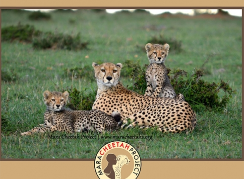 Mara Cheetah Project-Annual Report 2015