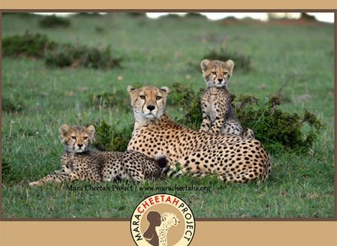 Mara Cheetah Project-Annual Report 2015