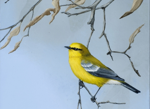 JIM HODGSON , Blue-winged Warbler, 2018