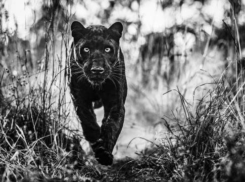 Black Panther Returns