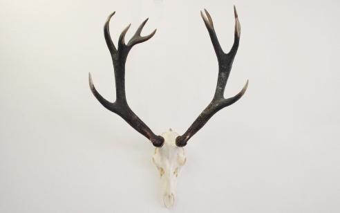 Vintage Antlers