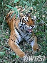 NGOs Release Call for Action to End Tiger Farming and Trade