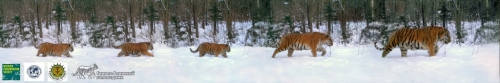 First Photos Taken of Entire Amur Tiger Family